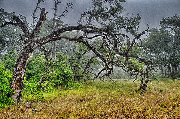 Burned Out Trees in Fog