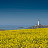 A Sea Of Mustard