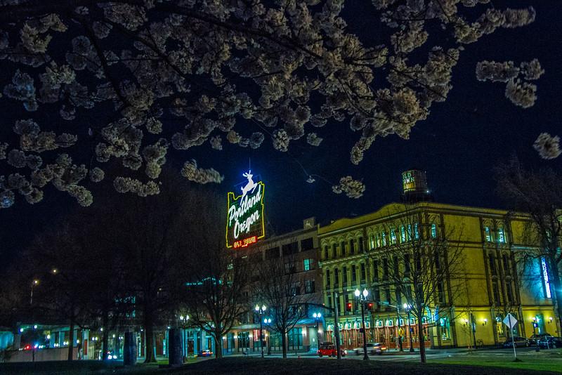 Cherry Trees bloom in Portland, Oregon