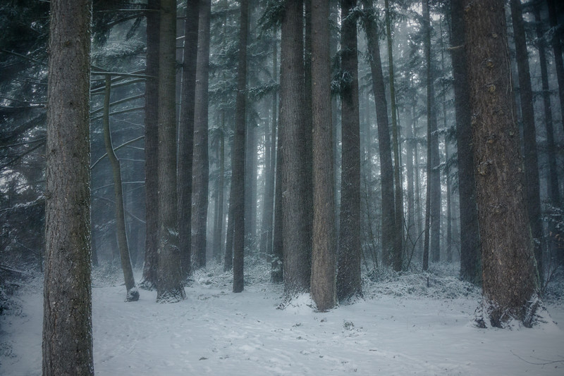 Quiet Forest in the snow