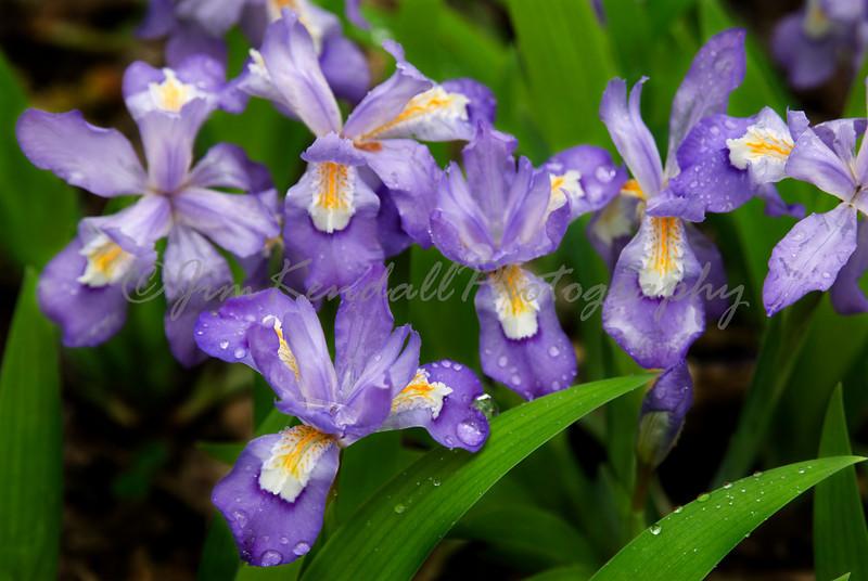 Smoky Mountain Crested Dwarf Iris