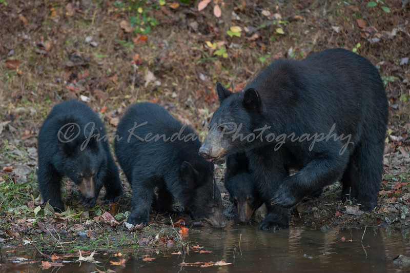 Mom and Cubs at the Watering Hole