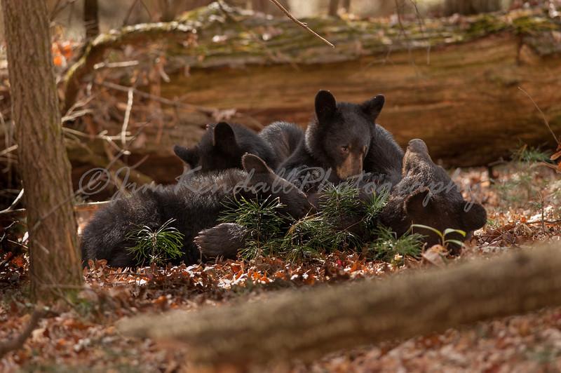 Momma Bear Nursing 3 Cubs