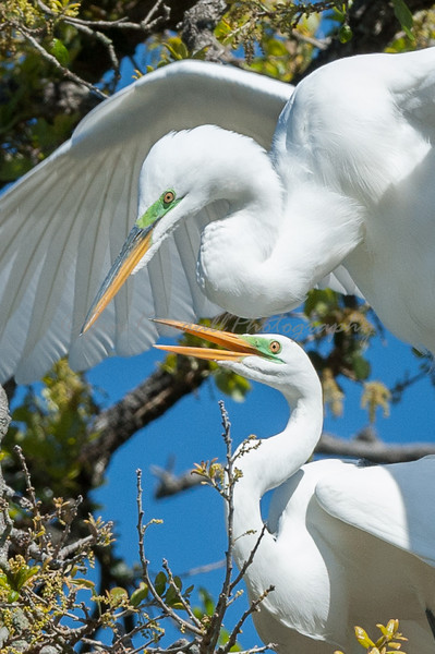 Courting Great Egrets - 1