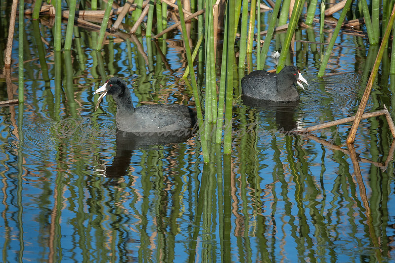American Coots in the Rushes