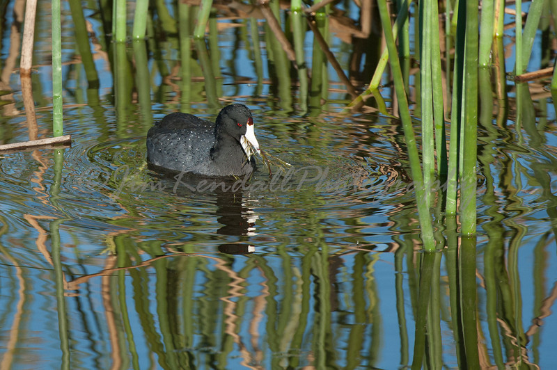 Dining American Coot