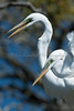 Affectionate Great Egrets