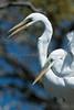 Affectionate Great Egrets