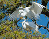 Great Egret Dominance