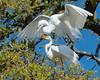 Great Egret Dominance