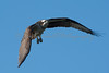 Osprey on Wing