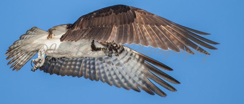 Osprey Reach