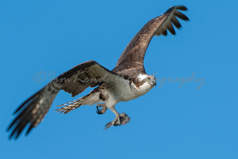 Osprey with Leftovers