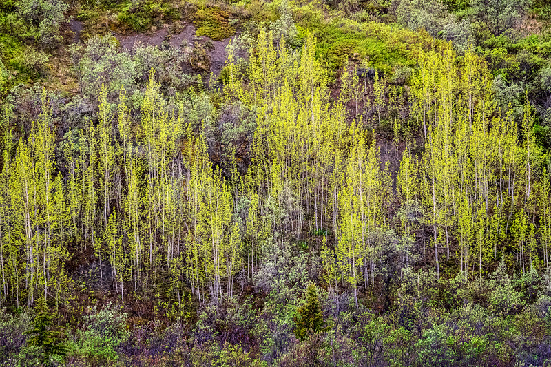 Spring Trees on the Mountainside