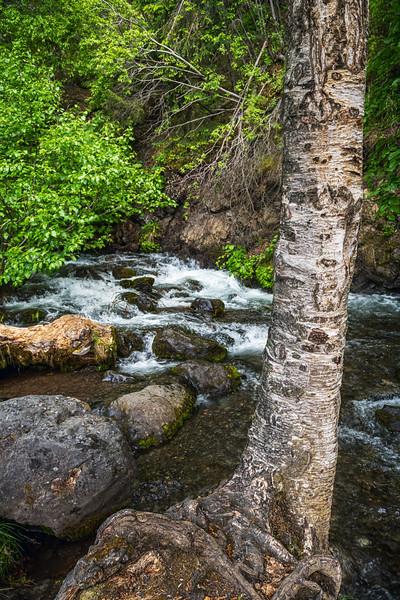 Birch and Stream