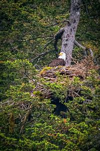 Golden Eagle in Nest