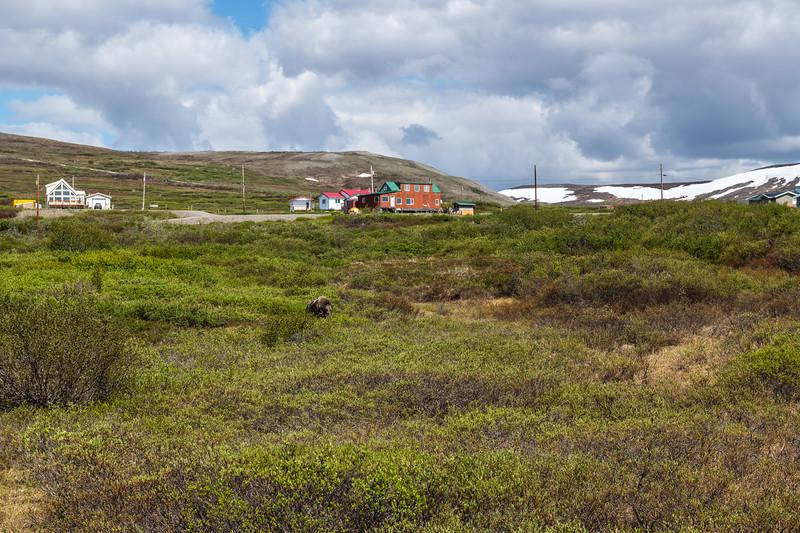 Muskox on the Tundra
