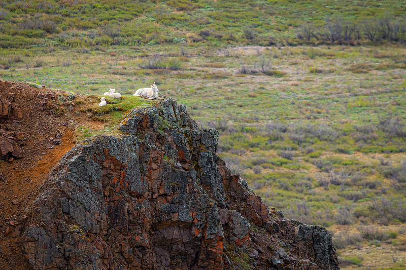 Dall Sheep on Hill