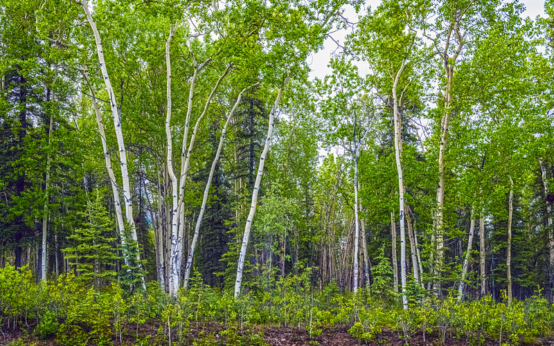 White Birches in the Woods
