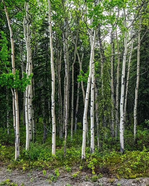 Alaskan White Birch