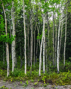 Alaskan White Birch