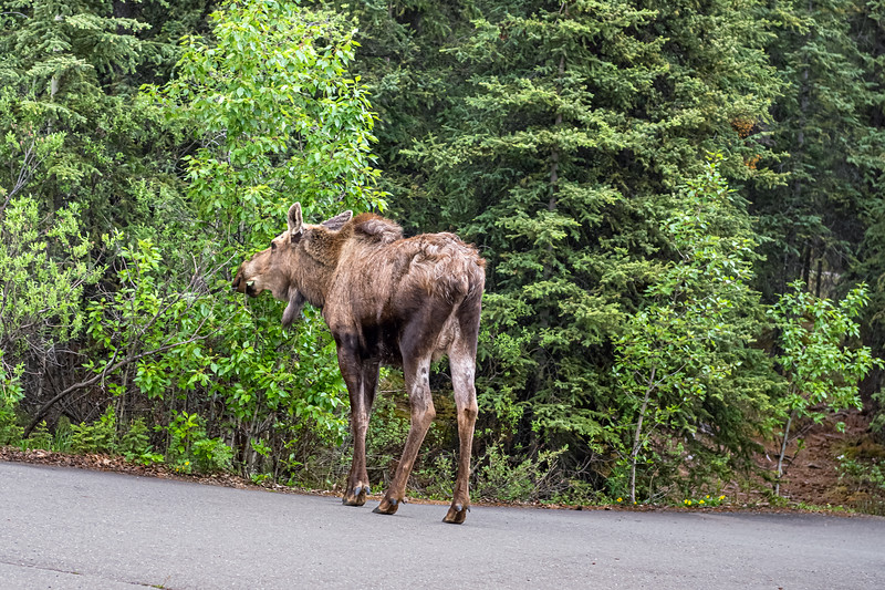 Moose Feeding