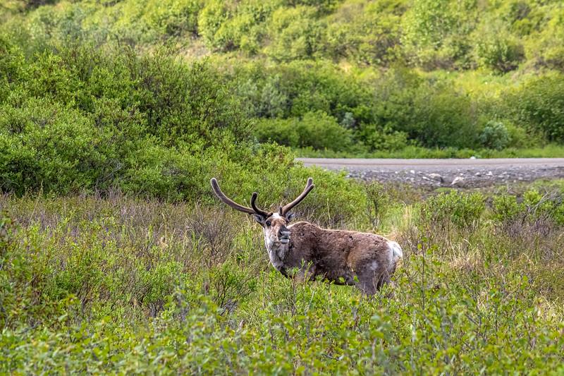 Caribou Alaska