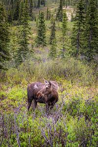 Female Moose