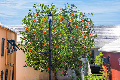 Orange Flowering Tree