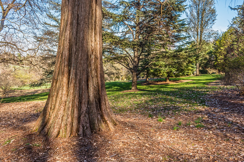 Cypress Tree in Park