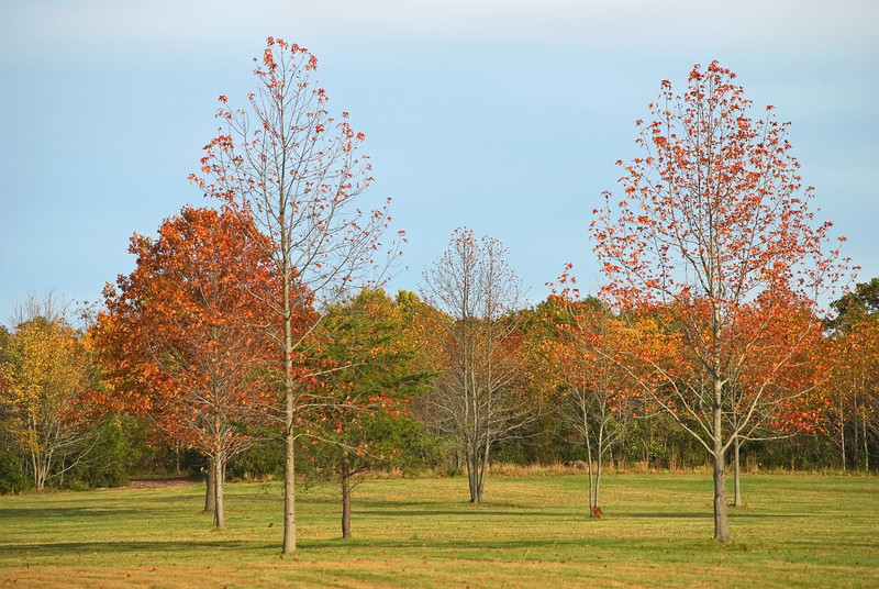 """Autumn Field""<br /> Autumn trees in a field in a park in Manalapan, New Jersey."