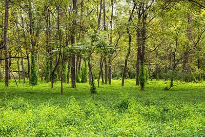 Summer Woodlands