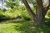 """Summer Shade Tree""<br /> An interesting large shade tree along a small stream in northern New Jersey."