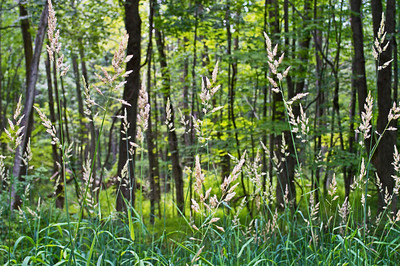 Forest Grasses