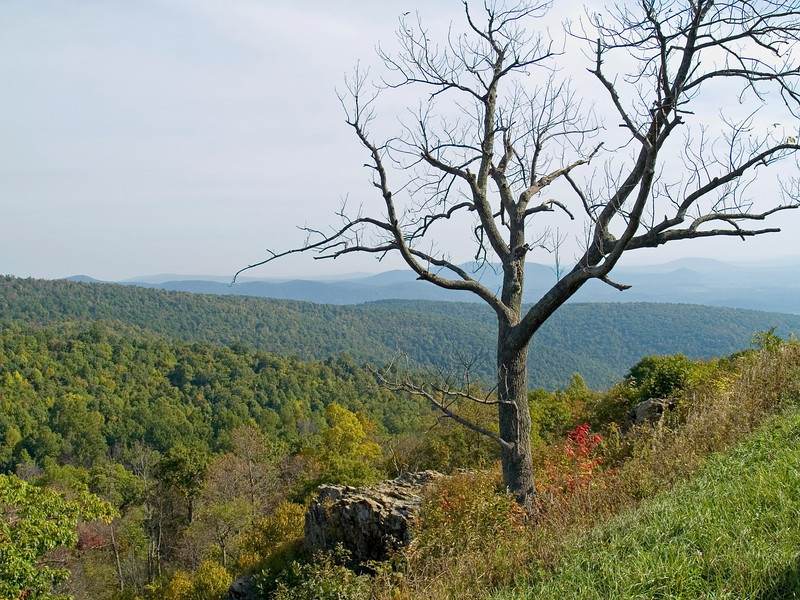 """Tree Top Shenandoah""<br /> A bare tree on a hillside in Shenandoah National Park during Autumn."