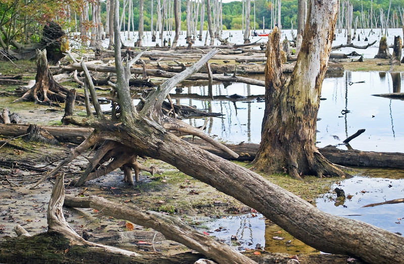 """""""Dead Wood Forest""""<br /> Dead trees along the shoreline of the Manasquan Reservoir in Central New Jersey."""