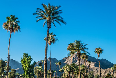Palm Trees of Palm Springs