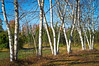 White Birch Meadow