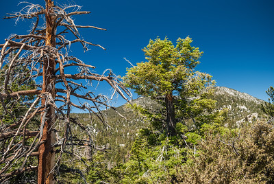 Dead Tree San Jacinto
