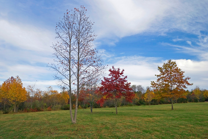 """Autumn Trees in Park""<br /> <br /> Autumn trees and green grass in Thompson Grove Park in Manalapan, New Jersey."