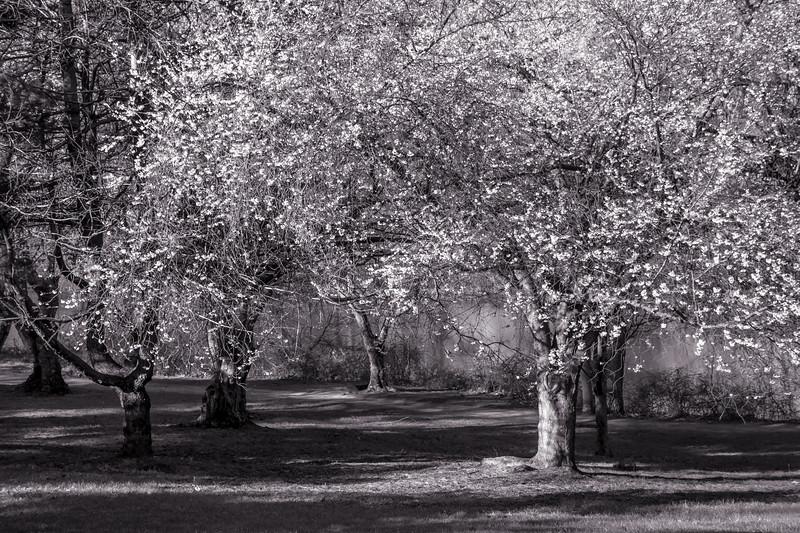 Cherry Blossom Black and White