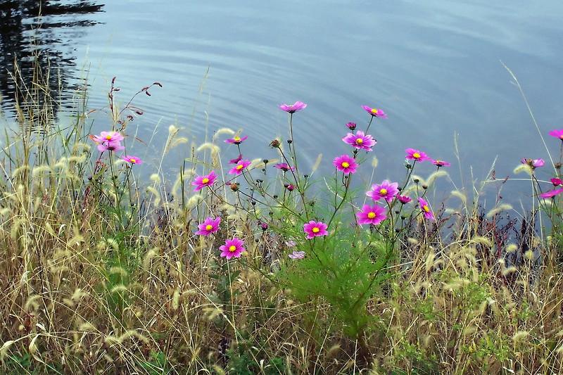 pondflowersn1