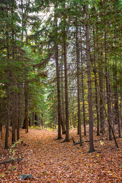 Tall Pines in Jenny Jump