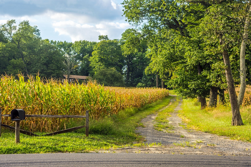 Rural Summer Cornfield