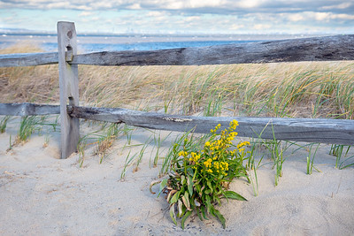 Goldenrod and Dunes