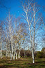 A daytime moon, blue skys and tall white birch trees in Upper Freehold New Jersey.