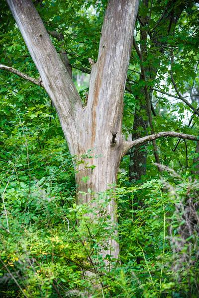 Dead Tree in Woods