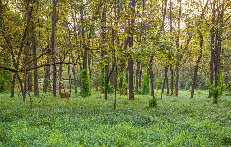 Green Woodlands and Deer