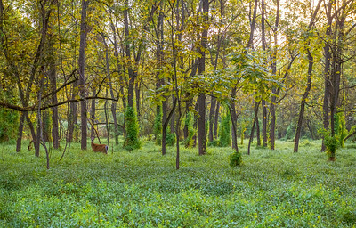 Green Woodlands and Deer