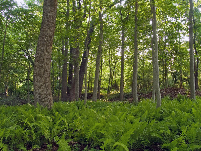 """""""Ferns and Forest""""<br /> A Summer woods with green ferns in Central, New Jersey."""